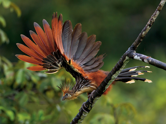 The Hoatzin (or stink bird) is the national symbol of Guyana.